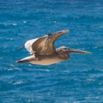 Pelican Guadeloupe