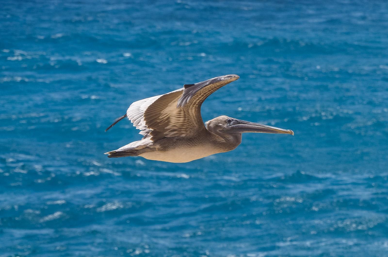 Pelican Guadeloupe